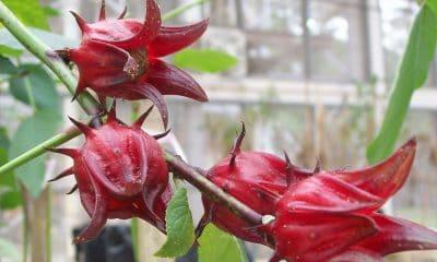 Roselle- Une fleur aux vertus reconnues