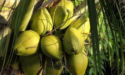 Tout savoir sur les bienfaits de l'eau de coco