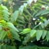 Katuk : un légume-feuille aux nombreux bienfaits