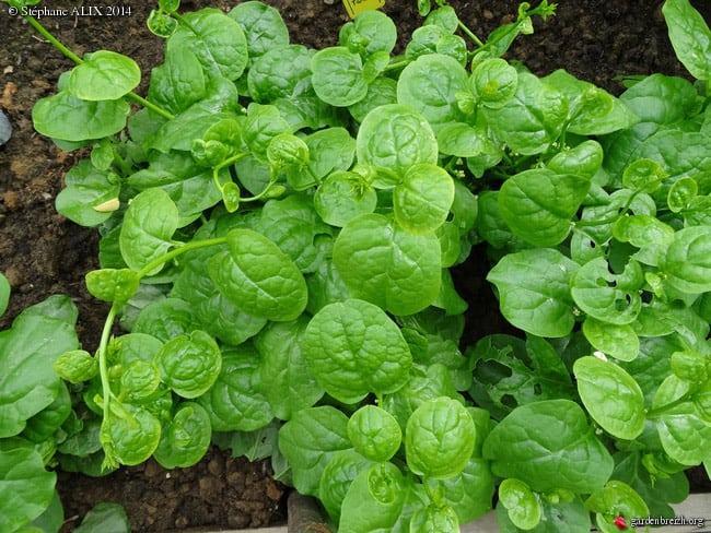 Baselle : un légume feuille aux vertus curatives intéressantes